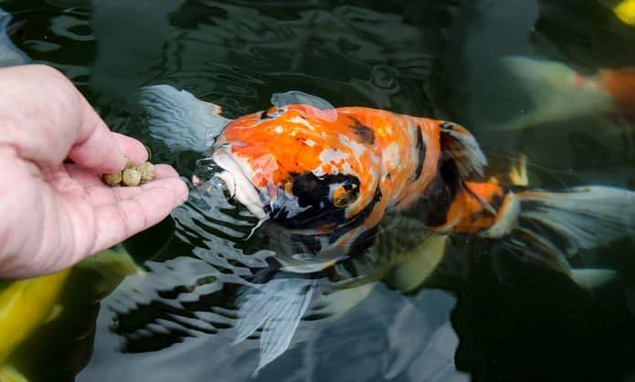 fish feeding2